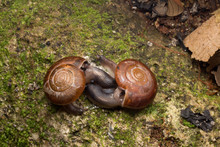 High Angle View Of Snails Mating On Ground
