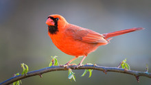 Colorful Red Male Cardinal Bird On A Hawthorn Branch In Early Spring