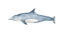 Watercolor Bottlenose Dolphin Hand Painted Illustration Isolated On White Background. Realistic Underwater Animal Art.  Ocean Watercolor Hand Drawn Illustration