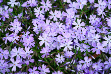 Blue Creeping Phlox Subulata F...