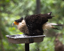 Eagle Bathing In The Zoo