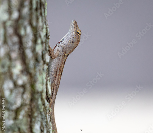 Photo Anole on the trunk of a tree