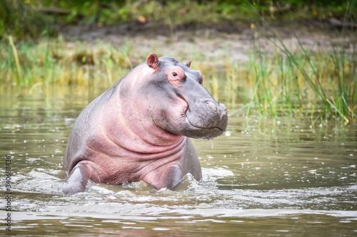 Wallpaper Mural Small and cute, Common hippopotamus, Amphibius hippopotamus, has a smile on his