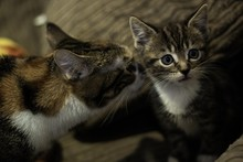 Tabby Domestic Mother Cat And ...