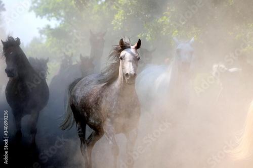 arab czystej krwi, ogier, stadnina ,arab,zwierzak, farma, biała, ogier, cheval, Canvas Print