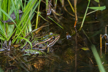 Northern Leopard Frog Sitting In The Shallow Water Of A Pond.