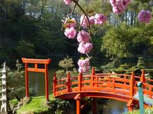 Jardin Oriental Et Cerisier En Fleur