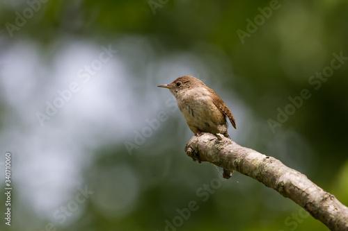 Valokuvatapetti A house wren isolated on a single perch.
