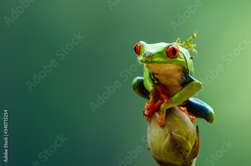 Valokuvatapetti Red eyed tree frog