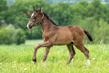 Brown Horse Pure Breed Filly