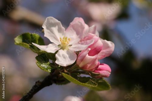 Photo Nahaufnahme eines blühenden Apfelbaums im Frühling