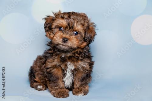 Fotografía Full Length Portrait Of Cute Female Bolonka Puppy Against Blue Background