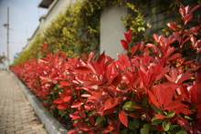 Photinia Fraseri In The Garden