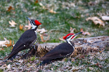 Pair Of Pileated Woodpecker (Dryocopus Pileatus) Eating Bugs From A Stump In The Springtime