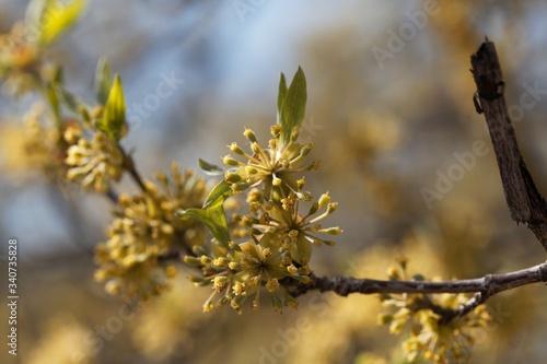Valokuva Flower of a Cornelian cherry, Cornus mas.