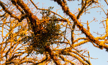 A Huge Clump Of Mistletoe Hangs In Lichen Covered Branches Of An Oak Tree, Warmed By Evening Light.