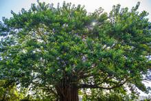 árvore Majestosa Do    Parque Da Luz  Da Cidade Brasileira De Florianópolis, Capital Do Estado De Santa Catarina, Brasil