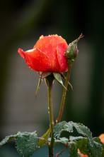 Beautiful Rose Petals Flowering In The Garden After A Rain Storm.