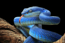 Blue Viper Snake Closeup Face