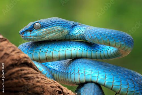 Cuadros en Lienzo Blue viper snake closeup face