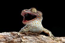 Tokek Closeup With Grey Background, Animal Closeup, Tokek Lizard Closeup