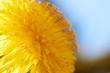 Wiosenny żółty kwiat polny (Mniszek lekarski, mlecz) w zbliżeniu i naturalnym oświetleniu