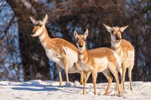 Pronghorn Antilocapra Americana In Winter