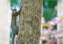 A Squirrel Looking Climbing Up A Tree Trunk