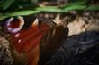 Siedzący na łące kolorowy motyl (Paź królowej)