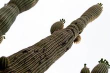 Majestic Cacti