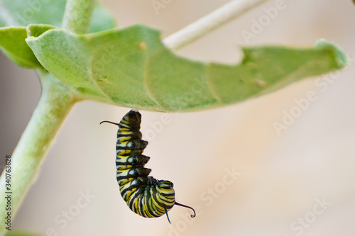 Fotomural caterpillar