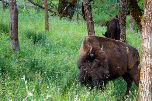 Photo buffalo in the field