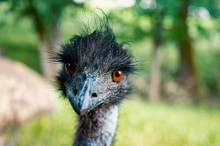 Emu With Green Background