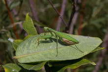 Praying Mantis Resting On A Common Milkweed Leaf.