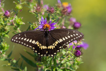 Black Swallowtail Butterfly Feeding On A New England Aster Flower.