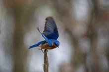 Eastern Bluebird Taking Off From Treetop