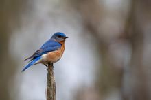 Eastern Bluebird On A Tree Top