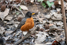 American Robin In The Woods