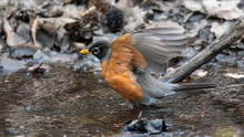 American Robin Taking A Bath I...