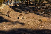 Three Kangaroos On A Hill Feed...