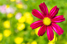 Red Cosmos In The Bright Field