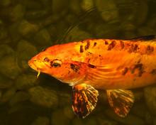 Koi Carp Swimming In The Water