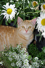 Orange Cat In Flowers