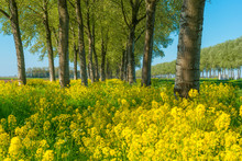 Trees In A Green Field With Grass And Yellow Wildflowers In Sunlight In Spring
