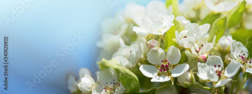 Fotografia Branches of blossoming cherry with soft focus .