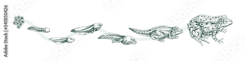 Aquatic amphibian life cycle black and white engraved style Billede på lærred