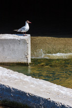 A Seagull Bird Is On A Concrete Block In An Artificial Water Ditch. Synanthropic Species In An Urban Habitat