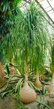 Beaucarnea Tree In Greenhouse ...