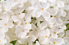 Fleurs De Lilas Blanc En Gros ...