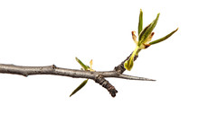 Part Of A Pear Tree Branch Wit...